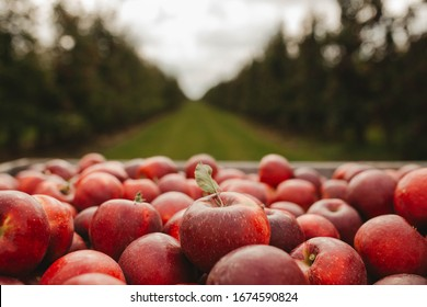wooden crate full of fresh apples. harvest of fresh organic apples during autumn fall september in poland in apple orchard.