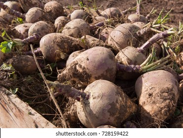 Wooden Crate of Harvested Organic Swedes or Rutabaga (Brassica Napus) on a Farm in Rural Devon, England, UK