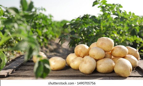 Wooden crate with raw young potatoes in field on summer day