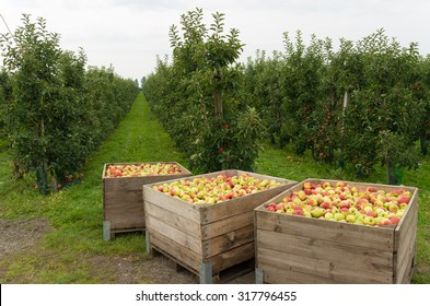 wooden crates full of ripe apples during the annual harvesting period in the betuwe, netherlands