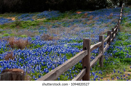 Wooden Fence on a Hill of Bluebonnets