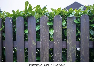 Wooden fence with peeling paint and behind it a hedge of green shrubs, in the courtyard, in the spring afternoon.