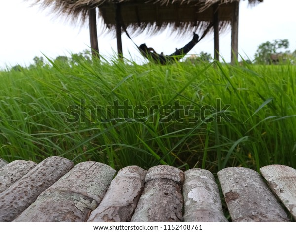 Wooden flooring, rice fields and people are sleeping hammock.