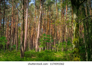 Wooden forest with pines and green grass