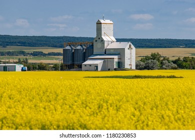 Wooden Grain Elevator Behind Bright Yellow Canola Field