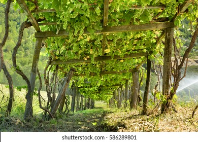 Grape Arbor Images Stock Photos Vectors Shutterstock