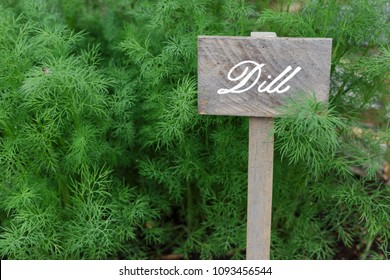 Wooden hand written sign next to Dill plant