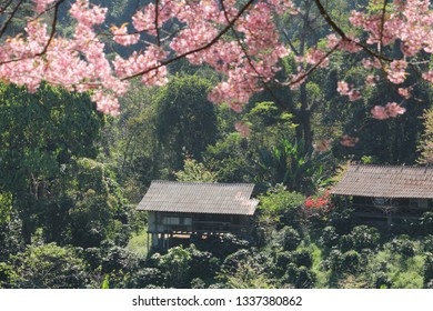 Wooden house in forest with Sakura blossom