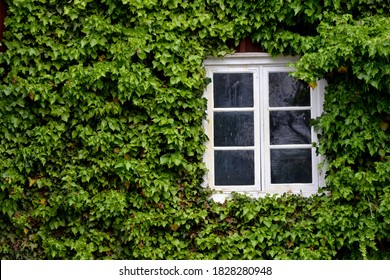Wooden house wall with white window, the wall is not visible due to green ivy