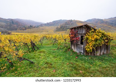 wooden hut decorated with autumnal colored vine leaves in the vineyard on a foggy day in Austria Wachau
