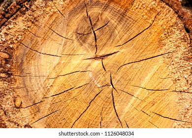 wooden oak tree cut surface. Detailed warm dark brown and orange tones of a felled tree trunk. Rough organic texture of tree rings