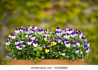 A wooden, painted box filed with pansies (Viola tricolor). Blurred background.