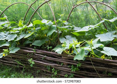 wooden raised beds with cucumbers in medieval style garden