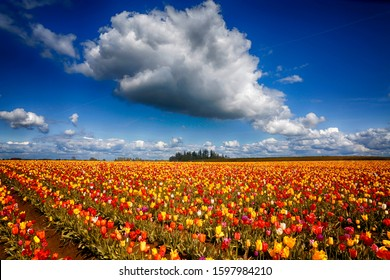 The Wooden Shoe Tulip Farm , near Woodburn Oregon