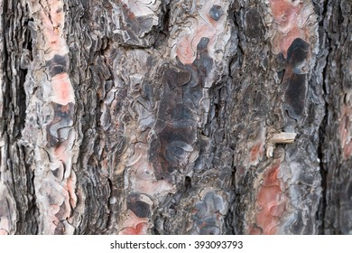 Wooden texture of a pine tree