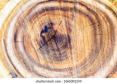 Wooden tree trunk texture can be used for background