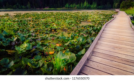 Wooden walkway over a lily pad marsh on a mountain lake surrounded by forest