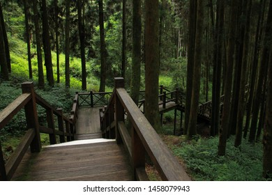 Wooden walkway that lead in to Pine trees in the forest. Alishan National Forest Recreation Area. Chiayi County, Alishan Township, Taiwan