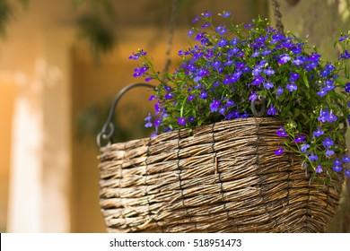 Wooden wicker basket with blue Lobelia flowers.