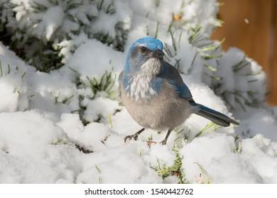 Woodhouse's Scrub-Jay sitting on a snowy branch. Colorado, USA.