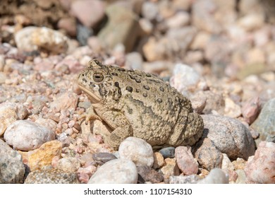 Woodhouse's Toad (Anaxyrus woodhousii) on the Pawnee National Grasslands in Colorado