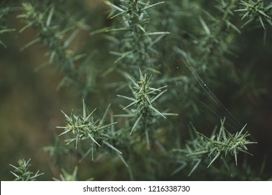 Woodland autumn spider webs covered gorse plant