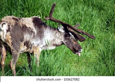 Woodland Caribou feeding in a grass field