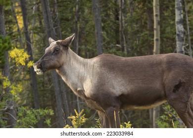 Woodland Caribou, northern British Columbia, Canada