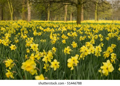 Woodland with daffodils as far as the eye can see