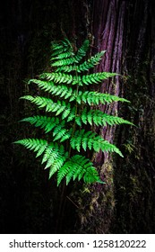 A woodland fern against a Western Red Cedar with some nice light illuminating the foliage.
