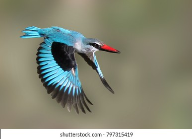 Woodland Kingfisher in flight against a clear isolated background.