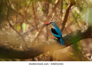 Woodland kingfisher, Halcyon senegalensis, african, bright blue colored kingfisher, perched on branch in typical wooded environment, opening beak to chill during a hot day. Uganda, Murchison Falls.