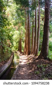 Woodland landscape with row of beautiful tall sequoia trees alongside the footpath and water irrigation channel, locally called levada. Summer season, Madeira island, Portugal.