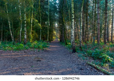 A woodland path passes between rows of fir trees. Winter sunlight filters acrosss the path.