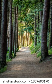 A woodland path through the managed woodland around Langsett reservoir in Barnsley. This woodland mainly consists of pine and the reservoir serves Sheffield and beyond.