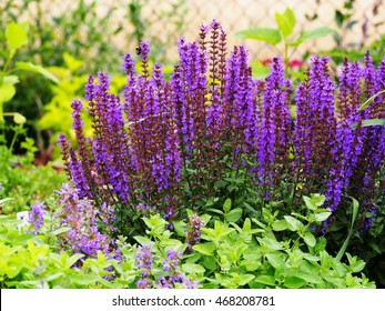 Woodland sage, Balcan clary (Salvia nemorosa)