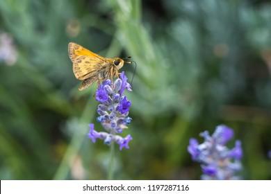 woodland skipper on lavender