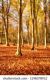 Woodland trees in fall in amazing colour of orange and red fall leaves. Natures colourful display in an outdoor forest scene