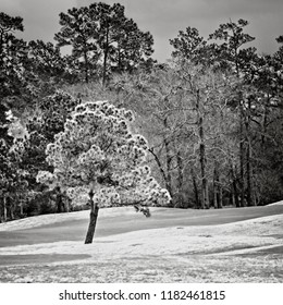 The Woodlands TX USA - Feb. 20, 2018  -  Green Tree in Golf Course in The Woodlands TX in B&W
