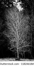 The Woodlands TX USA - Feb. 20, 2018  -  Tree in Fall with Green Background in B&W