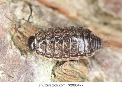 Woodlouse on wood, extreme close-up with shallow depth of field and high magnification