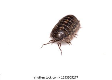 Woodlouse Wood Louse crustacean On White Background