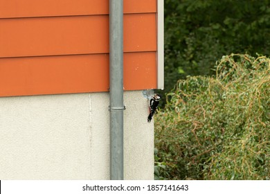 woodpecker builds a cave into the facade of a heat-insulated house, woodpecker damage