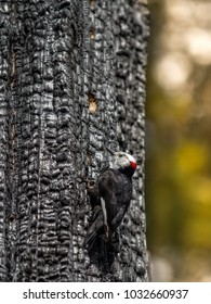 Woodpecker at dead burnt tree in Sequoia National Park