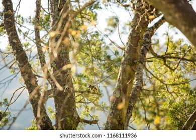 Woodpecker in Drakensberg