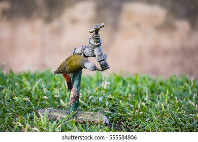 woodpecker drinking water from tap