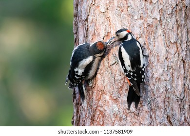 Woodpecker feed nature