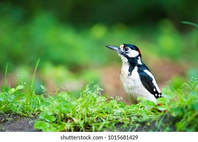 Woodpecker foraging on the ground