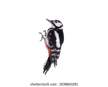 woodpecker isolated on white background