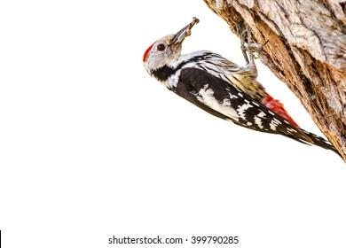 woodpecker isolated on white background Middle Spotted Woodpecker / Dendrocopos medius